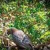Kaka feeding on Ulva Island.