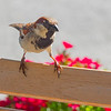 Sparrows scavenge outdoor cafe tables