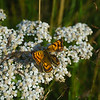 White Achillea millefolium wildflower with common copper butterfly.