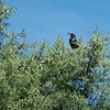 Common starling high in tree with beak full of worms for feeding young