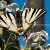 Swallowtail butterfly. Black and white striped wings of the Iphiclides podalirius.