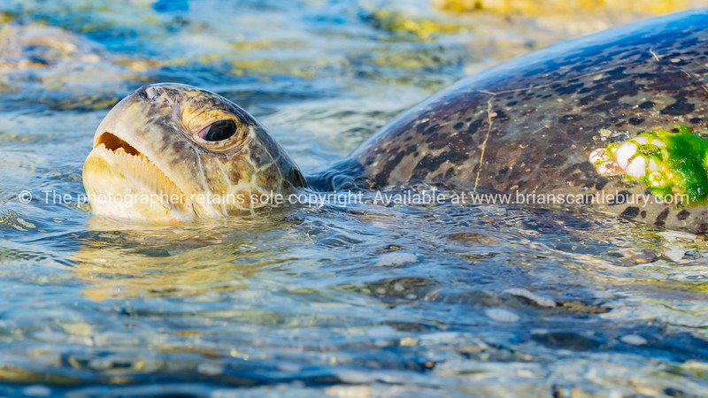 Large female turtle waiting for return of tide after nights egg laying.