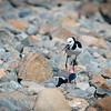 NZ Pied Stilt on stony river bed in South Island