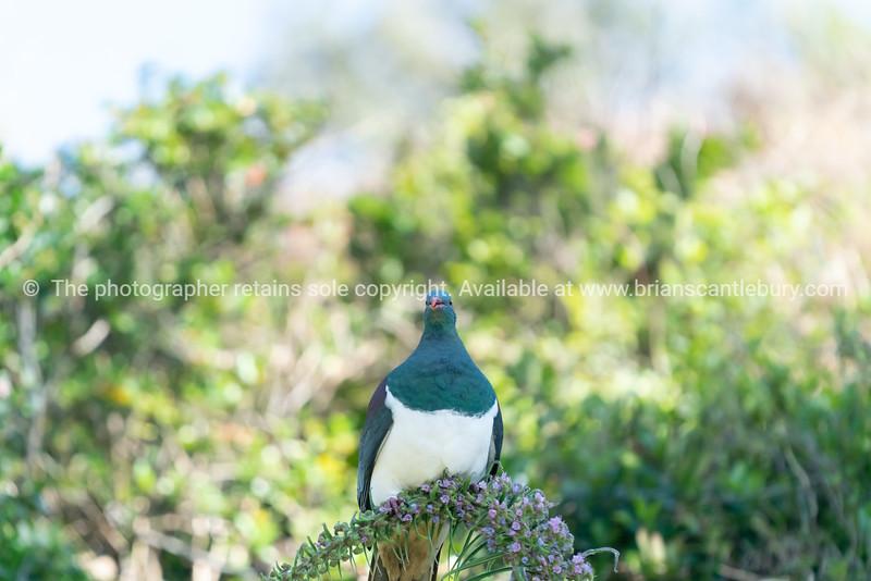 New Zealand wood pigeon or kereru in tree