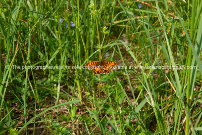 Arctiidae Lithosiinae in the grass.