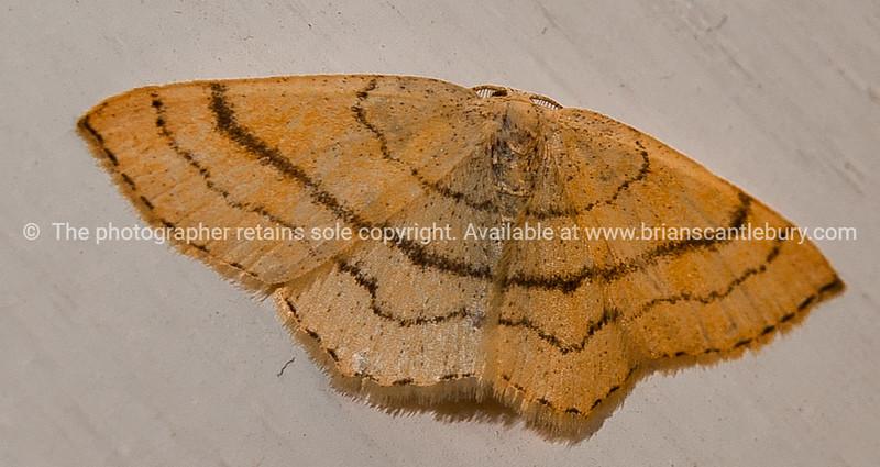 Moth,Arctiidae Lithosiinae