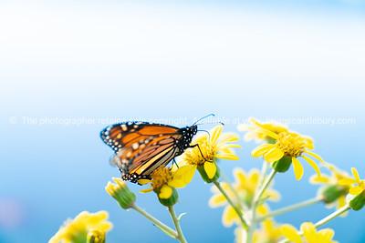 Monarch butterfly on yellow flower.