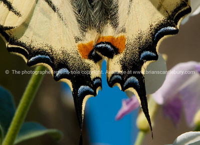 Butterfly tail, close up. Iphiclides podalirius