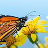 Monarch butterfly on yellow flower.
