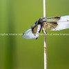 Blue dasher dragonfly on reed.