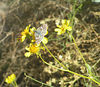 """White Checkered-Skipper, Phoenix, AZ, apr 18, 2005b. This ID based on fact that the Common Checkered-Skipper is not recorded for Maricopa County (see <a href=""""http://www.butterfliesandmoths.org/"""">http://www.butterfliesandmoths.org/</a>),  only the White."""