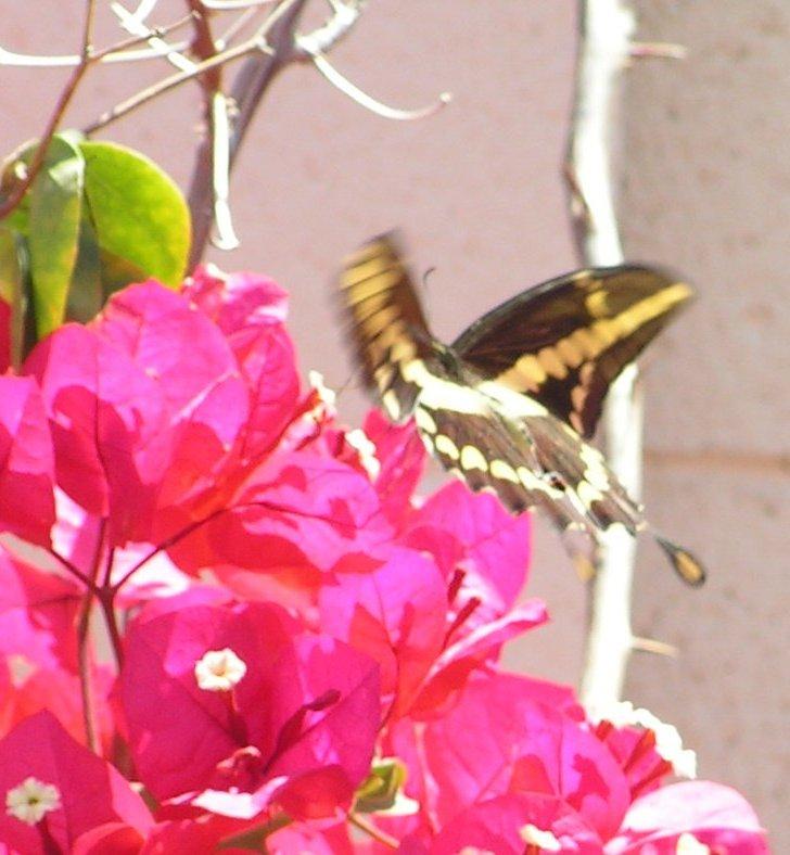 Giant Swallowtail, Phoenix, AZ, apr 14, 2005a