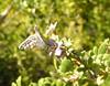 x Common Checkered-Skipper, Boyce Thompson Arboretum, Superior, AZ  nov 21, 2006 028