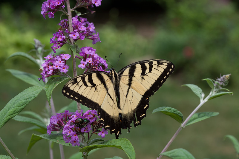 Eastern Tiger Swallowtail 1