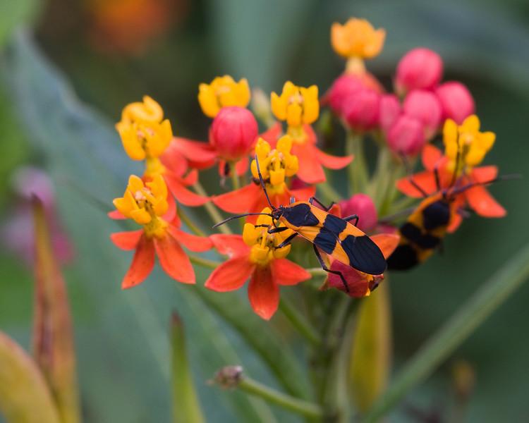 Milkweed bug on flower