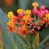 Milkweed bug on flower