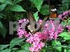 IMG_8592 Swallowtail w Postman pink flrs