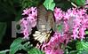 IMG_8590 Red spot Swallowtail pinkflrs