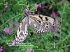 IMG_2884 Paper Kite Butterfly CU 2 copy vsm sss