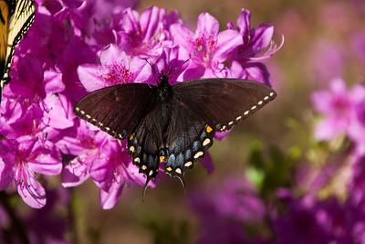 Butterflies, Moths, Flying