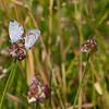 Edward's Hairstreak Butterflies (mating)