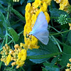 Palpita unionalis Hübner Moth