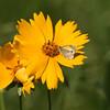Dainty Sulpher Butterfly