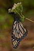 Monarch Butterfly (<i>Danaus plexippus</i>) Santuario de la Mariposa Monarca El Rosario (El Rosario Monarch Butterfly Sanctuary) Mexico