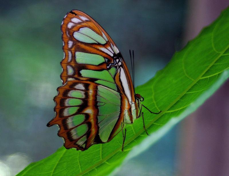 """Malachite Butterfly""<br /> Ecuador, Amazon Rainforest, Yachana Lodge"