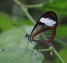 """Glasswing butterfly""  Ecuador, Maquipucuna Reserve  While walking along a trail in the Maquipucuna Preserve, I found this delicate glasswing butterfly. She allowed me to take many photographs before she fluttered on her way. Glasswing butterflies are also called clearwings due to the transulcent scales on the butterfly's wing. In the shade, one can see straight through them to the vegetation. In the sunlinght, the wings shimmer like a stained glass window of turquoise, orange, green and red. Tropical ecologists use the presence of glasswing butterflies as an indication of high habitat quality. As I kept walking, I noticed many other glasswings, some of the same species and some of others. It appeared as if the entire forest was filled with glasswing butterflies - an incredible sight and a great indication of a healthy sustainable forest!"