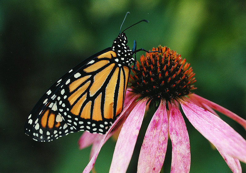 "<font size=3><br> ""Monarch on coneflower"" <br> Wisconsin, Mosquito Hill Nature Center <br> One of the most beloved butterflies of North America, the monarch (<i>Danaus plexippus</i>) is famous. This monarch butterfly is resting on a pink coneflower.   </font>"