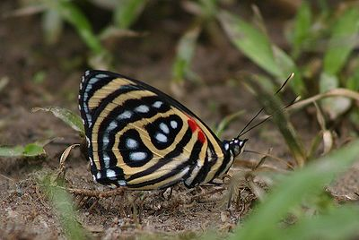"""88 Butterfly"" (Callicore sp.) Ecuador, Amazon Rainforest, Yachana Lodge"