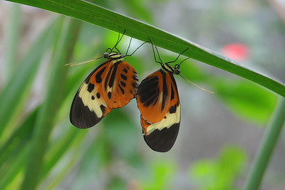 """Heliconia Butterflies Mating"" (Heliconius numata tarapotensis tarapotensis) Ecuador, Amazon Rainforest, Yachana Lodge"