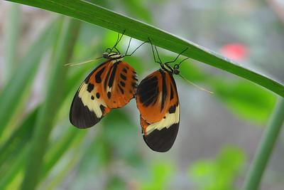 """Heliconia Butterflies Mating"" (Heliconius numata tarapotensis tarapotensis) Ecuador, Amazon Rainforest, Yachana Lodge"