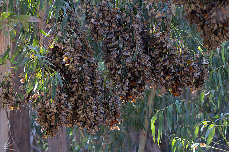Monarchs overwintering in clusters after their migration to the California coast<br /> near Santa Barbara, California