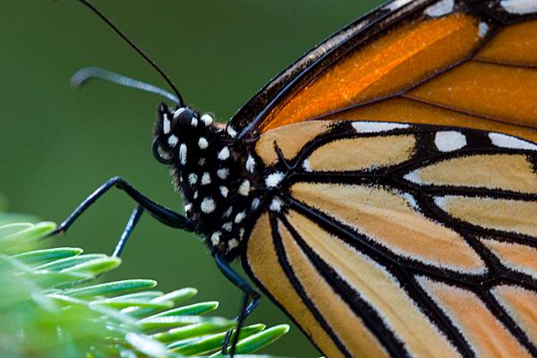"""""""Monarch Butterfly (<i>Danaus plexippus</i>) Santuario de la Mariposa Monarca El Rosario (El Rosario Monarch Butterfly Sanctuary) Mexico"""