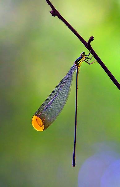 Damselfly<br /> Mamirauá Reserve, Amazon, Brazil