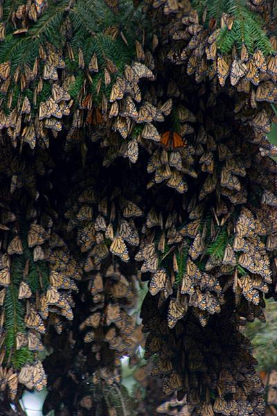 """""""Monarch Migration""""<br /> Santuario de la Mariposa Monarca El Rosario (El Rosario Monarch Butterfly Sanctuary)<br /> Mexico"""