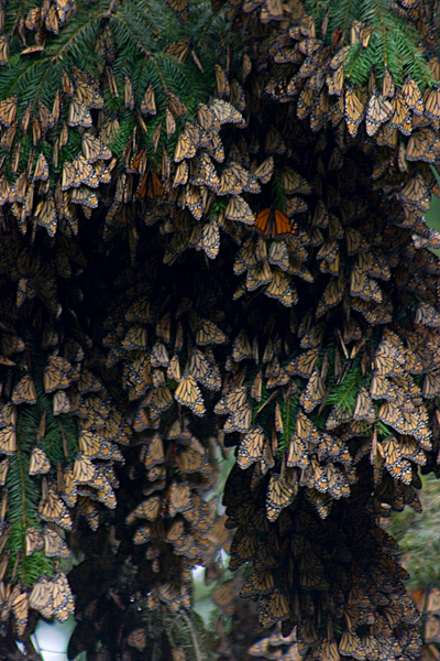 """Monarch Migration""<br /> Santuario de la Mariposa Monarca El Rosario (El Rosario Monarch Butterfly Sanctuary)<br /> Mexico"