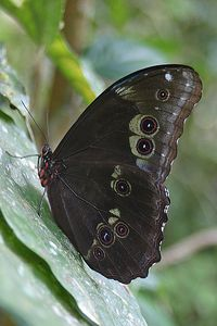 """Blue Morpho Butterfly with Wings Closed""  Ecuador, Amazon Rainforest, Yachana Lodge"