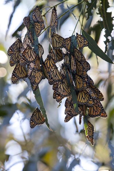 Monarchs (<i>Danaus plexippus</i>) overwintering in clusters after their migration to the California coast near Santa Barbara, California