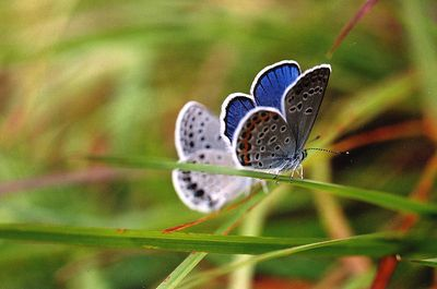 """Karner blue butterfly resting New York, Wilton Wildlife Preserve and Park  This male Karner blue butterfly is resting on a blade of grass with his wings open, displaying his beautiful blue wings. The endangered Karner blue butterfly (Lycaeides melissa samuelis) once lived from Maine to Minnesota. In the early 1900s, the Karner blue butterfly was described as covering the landscape """"in a sea of blue."""" Since that time, their population has declined by over 99%. I monitored Karner blue butterflies for an internship with The Nature Conservancy at the Wilton Wildlife Preserve and Park in upstate New York. Having the privilege of helping these butterflies survive has been one of the most rewarding experiences of my life. These delicate beautiful butterflies will always hold a special place in my heart."""
