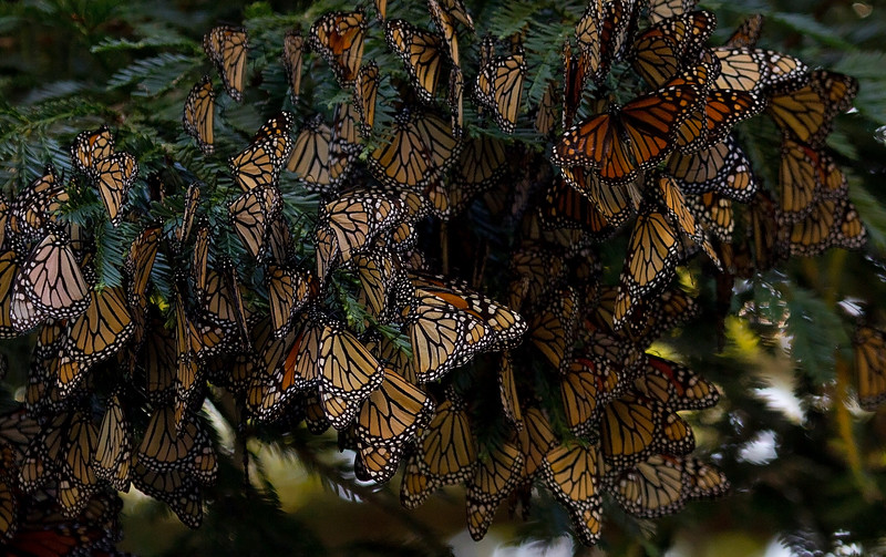 Monarchs overwintering in clusters on a redwood tree after their migration to the California coast<br /> near Monterey, California