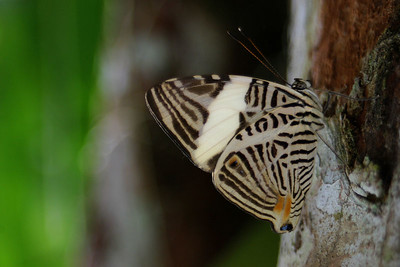 """Mosaic""  (Colobura dirce) Ecuador, Amazon Rainforest, Yachana Lodge"