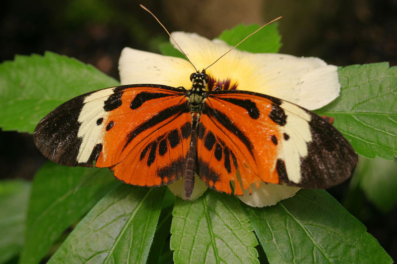 """Heliconia Butterfly"" <br /> Ecuador, Amazon Rainforest, Yachana Lodge"