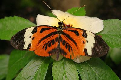 """Heliconia Butterfly""  Ecuador, Amazon Rainforest, Yachana Lodge"