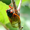 I snapped a couple photos of the cicada's while I was butterfly hunting.  They have been loud this year!
