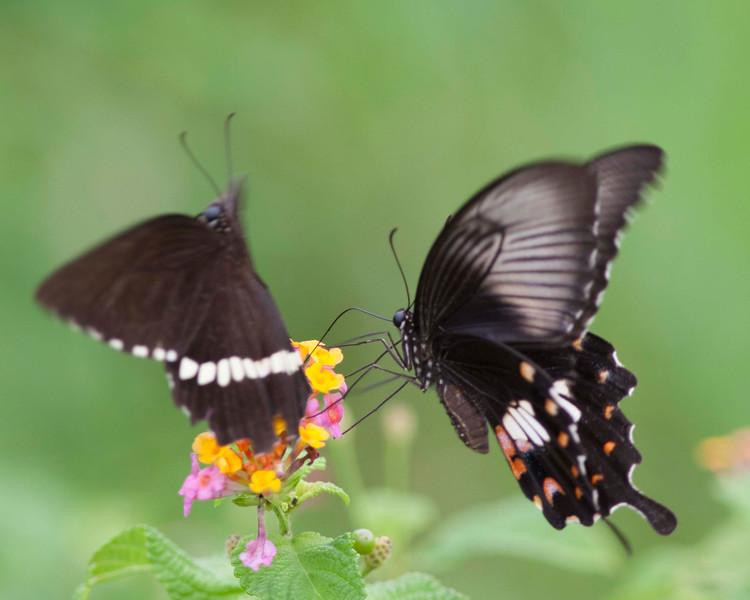 Common Mormon male and female ( Papilo polytes)