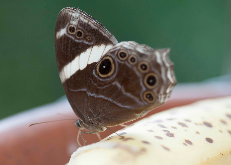 Banded Tree Brown