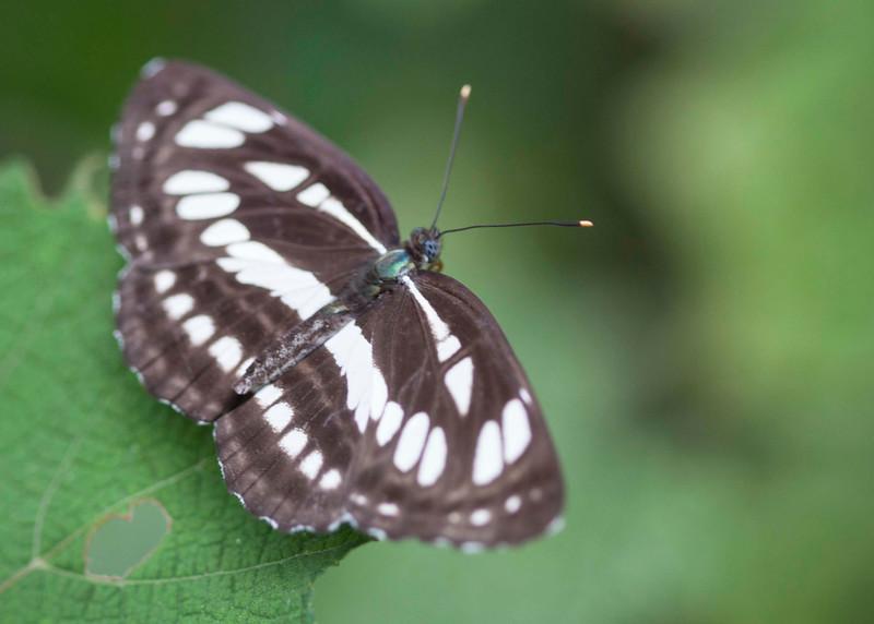 Common Seargent/ Neptis columella